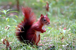 Red~Squirrel%20300px.jpg